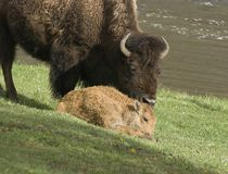 Bison cow and calf. Bison cow standing near bison calf near water Stock Image