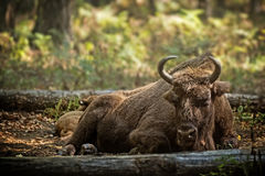 Bison cow with calf Royalty Free Stock Images