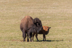 Bison Cow and Calf Stock Photography