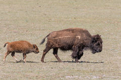 Bison Cow and Calf Royalty Free Stock Image