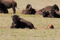 Bison Cow and Calf Herd Royalty Free Stock Images