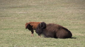 Bison Cow and Calf stock footage