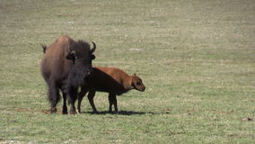 Bison Cow and Calf stock video