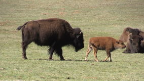 Bison Cow with Calf stock video