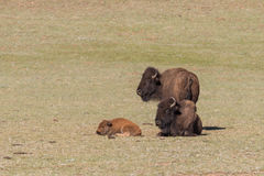 Bison Cow and Calf in a Meadow Royalty Free Stock Photography