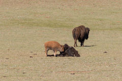Bison Cow With Calf in a Meadow Royalty Free Stock Photos