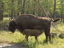 Bison cow with calf Royalty Free Stock Photo