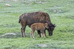 Bison Cow die Baby een Bizonomhelzing geven stock foto's