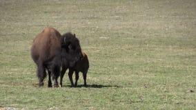 Bison Cow en Kalf in Weide stock video