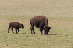 Bison Cow and Her Calf Stock Photo