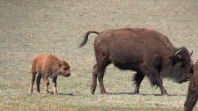 Bison Cow with Her Calf stock footage