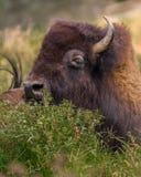 Bison Cow Hiding Royalty-vrije Stock Afbeelding