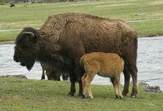 Bison cow and nursing calf Royalty Free Stock Image