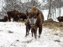 Bison cow with young calf. Breeding bison in Altai Mountains. Stock Image