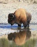 Bison croisant The Creek Photographie stock libre de droits