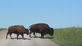 Bison cross the road Stock Photos