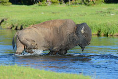 A Bison crosses a clear stream. Stock Photos
