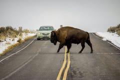Bison Crosses a estrada na frente de um carro Imagem de Stock Royalty Free