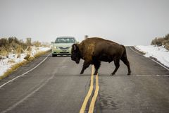 A Bison Crosses the Road in Front of a Car Royalty Free Stock Image
