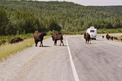 Bison crossing the Alaska highway royalty free stock image