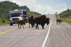 Bison crossing the Alaska highway stock photos