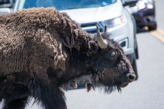 Bison Crossing Royalty Free Stock Photos