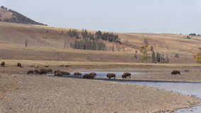 Bison Crossing the Lamar River stock video footage