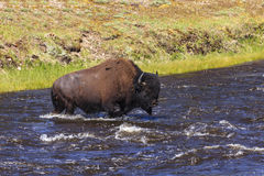 Bison Crossing river Royalty Free Stock Photos