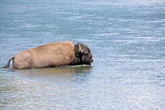 Bison crossing river in yellowstone royalty free stock image