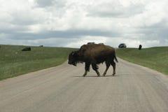 Bison crossing road - blocking traffic Stock Images