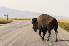 Bison Crossing Road Stock Image