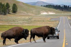 Bison crossing the road in yellowstone. Two bison slowly make their way across the road. rush hour in yellowstone national park, wyoming Royalty Free Stock Images