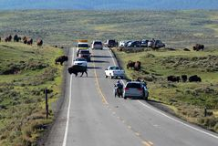 Bison crossing the road Royalty Free Stock Image