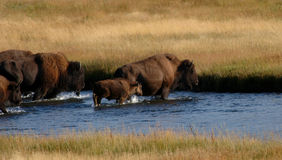 Bison Crossing Stream royalty free stock photo