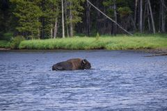 Bison crossing the yellowstone river Royalty Free Stock Photo