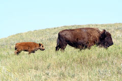 Bison in Custer State Park, South Dakota. Custer State Park, the second largest state park in America, is located in the Black Hills of South Dakota, the park is Royalty Free Stock Images