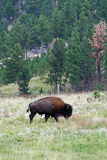 Bison in Custer State Park, South Dakota. The bison are a popular attraction for visitors and roam freely throughout the park Stock Photos