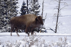 Bison d'hiver photographie stock