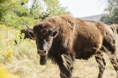 Bison dans l'herbe Amérique rurale image stock