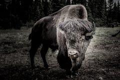 Bison dans l'obscurité Photographie stock libre de droits
