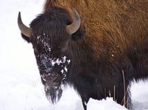 Bison dans la neige Photographie stock libre de droits