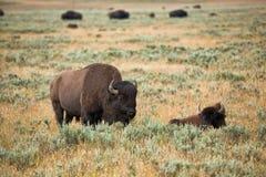 Bison dans les prairies du parc national de Yellowstone au Wyoming photographie stock