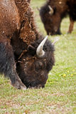 Bison dans Yellowstone Images stock