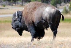 Bison dans Yellowstone Photo libre de droits