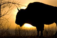 Bison Dawn. An adult bison stands against a rising sun royalty free stock image