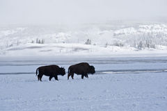Bison at Daybreak. Two stalwart bison trudge along near Firehole River at sunrise in winter stock photo