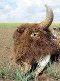 Bison de bad-lands Photos stock