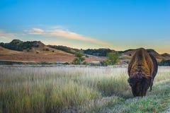 Bison de bad-lands Photo libre de droits
