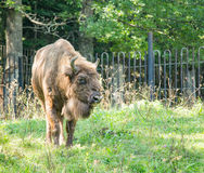 Bison de Brown marchant sur l'herbe photo libre de droits