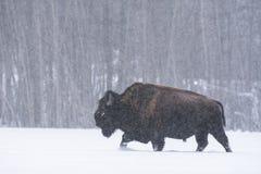 Bison de bison de bison dans une tempête de neige, parc national d'île d'élans, Canada photos stock